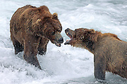 Two brown bears fight for position at Brooks Falls in Katmai National Park, Alaska.