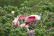 Spoonbill with chicks at a rookery on Jefferson Island in Louisiana.