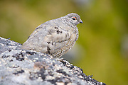 White-tailed Ptarmigan (Lagopus leucura) near Hatcher Pass, Matanuska Valley, Talkeetna Mountains, Alaska.