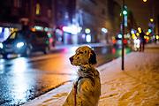 """English Setter """"Rudy"""" am 11.11. 2019 auf einem Spaziergang im Prager Stadtteil Zizkov, Tschechische Republik mit dem ersten Schnee der Saison. Rudy wurde Anfang Januar 2017 geboren."""