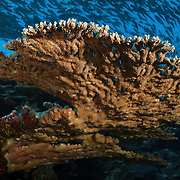 Staghorn coral formation at Point P dive site in the Eastern Fields of Papua New Guinea, with a large school of bigeye trevallies (Caranx sexfasciatus) swimming overhead