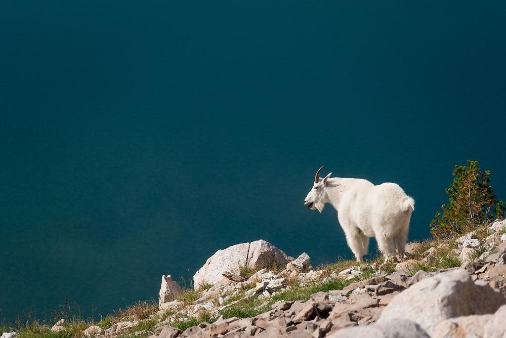 Mountain goat above a lake in Oregon's Wallowa Mountains.