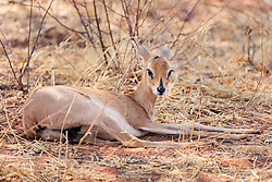 Damara Dik Dik animal relaxing at Okonjima Nature Reserve, Namibia, Africa