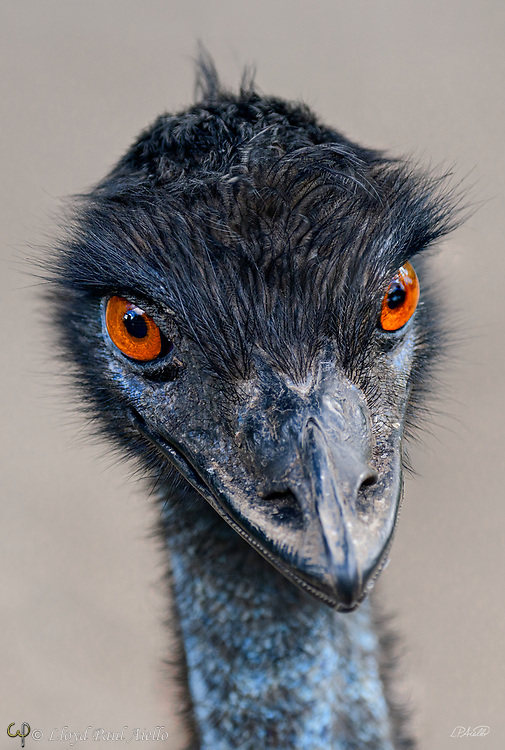 The emu (Dromaius novaehollandiae) is the second-tallest living bird in the world exceeded only by the ostrich. Emus are endemic to Australia where it is the largest native bird and is found throughout most of mainland Australia.  <br /> <br /> Emus are soft-feathered, brown, flightless birds with long necks and legs, and can reach up to 1.9 meters (6.2 ft) in height. Emus range in length from 139 to 164 cm (55 to 65 in).  They are the fifth heaviest living bird in the world after the two species of ostrich and two larger species of cassowary.  Adult emus weigh between 18 and 60 kg (40 and 132 lb), with an average of 31.5 and 37 kg (69 and 82 lb) in males and females, respectively.<br /> <br /> Emus can travel great distances, and when necessary they can sprint at 50 km/h (31 mph) due to their highly specialized pelvic limb musculature.  They flap their wings when running, perhaps as a means of stabilizing themselves when moving fast.  When walking, the emu takes strides of about 100 cm (3.3 ft), but at full gallop, a stride can be as long as 275 cm (9 ft). Emus have good eyesight and hearing.<br /> <br /> Emus primarily eat plants and insects but can go for weeks without eating. They drink infrequently but ingest large amounts of water when they do.  Emus breed in May and June.  The male incubates the eggs and hardly eats or drinks during that time, losing a significant amount of weight. The eggs hatch after about eight weeks, and the young are nurtured by their fathers. Emus reach full size after about six months.  The emu plumage varies in color due to environmental factors.  Feathers of emus in more arid areas with red soils have a rufous tint while birds residing in damp conditions are generally darker in hue. The juvenile plumage develops at about three months with the head and neck being especially dark. The adult plumage has developed by about fifteen months.<br /> <br /> This image of a juvenile emu is derived from a two photograph focus stack.