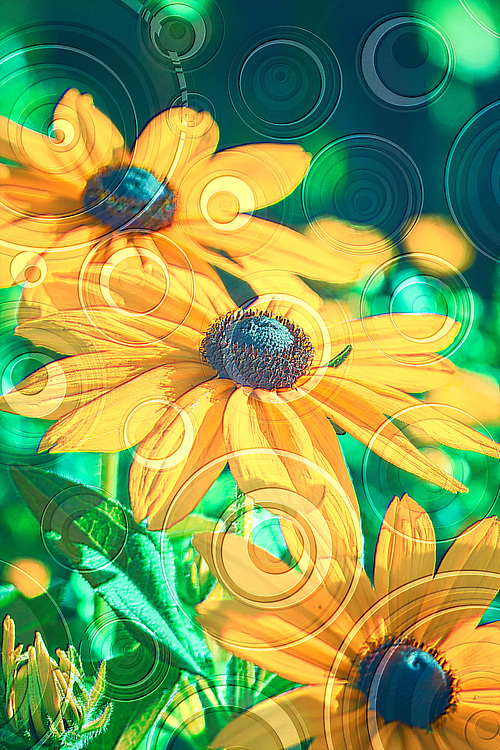Black-eyed Susans are flowering plants that grow over three feet tall. They have green leaves up to six inches long.