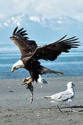 A bald eagle carries fish scraps surrounded by gulls on the beach at Anchor Point, Alaska.