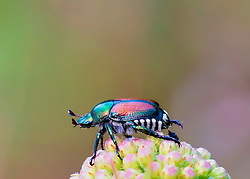 The beetle species Popillia japonica is commonly known as the Japanese beetle. It is about 15 millimetres long and 10 millimetres wide, with iridescent copper-colored elytra and green thorax and head.