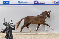 441, Norbert<br /> KWPN Hengstenkeuring 2021<br /> © Hippo Foto - Dirk Caremans<br />  04/02/2021