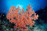 sea fan or gorgonian soft coral on coral wall, Sipadan Island, off Borneo, Sabah, Malaysia ( Celebes Sea )