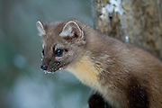 Pine marten during winter in Yellowstone National Park