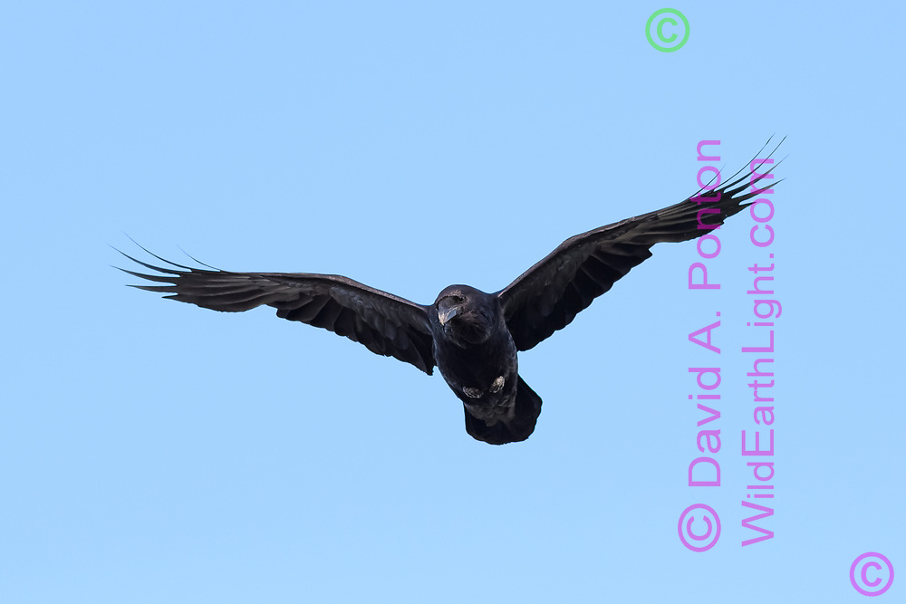 Raven in flight looking downward, © David A. Ponton