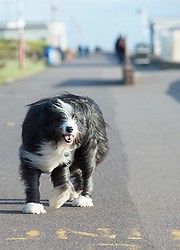 (c) Licensed to London News Pictures. 15/01/2015 Essex, UK.  Owners and their dogs braved the freezing wind blowing along the Thames Estuary at Southend on Sea, this afternoon. Photo credit Simon Ford/LNP