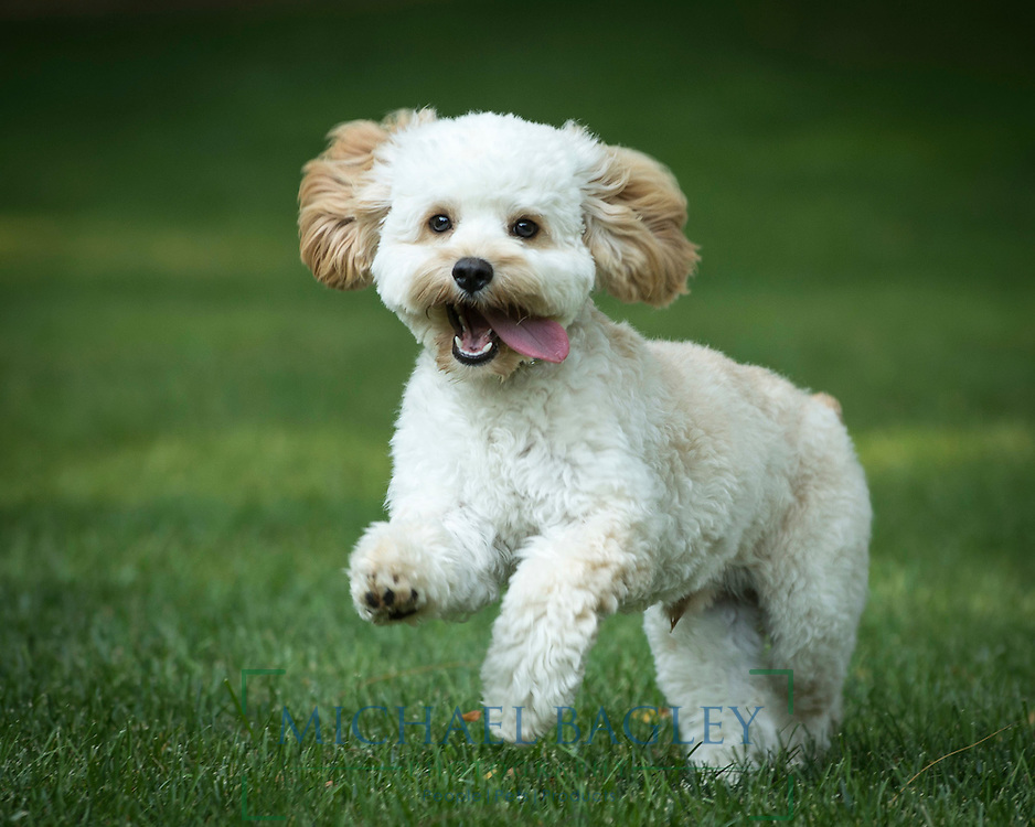Wynn, an 8-month old Cockapoo puppy, prances in the backyard.