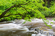 66745-04515 Middle Prong Little River in spring Great Smoky Mountains National Park TN