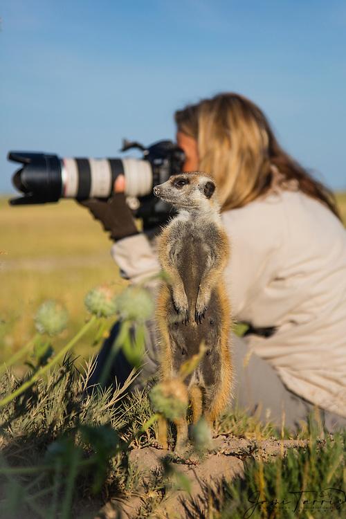 A meerkat (Suricata suricatta) stands fearlessly next to a photographer in the Makgadikgadi Pan of the Kalahari, Botswana, Africa