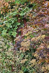 Sambucus nigra berries with fennel seedheads