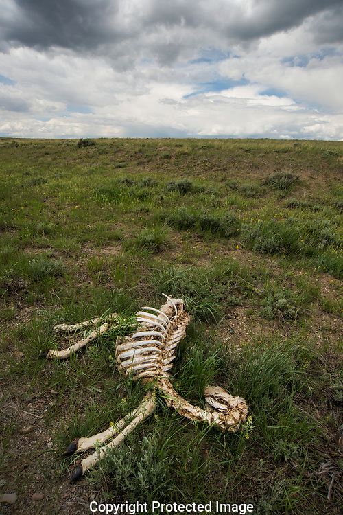 """The remains of a Pronghorns' bones is a reminder of their plight.   The ancient Migration routes of the Pronghorn """"American Antelope"""" are fraught with danger and obstacles as their range is diminished and strung with fencing."""
