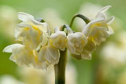 Narcissus tazetta 'Erlicheer'