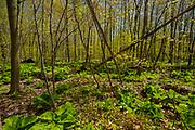 A carpet of  large flowered trillium (Trillium grandiflorum) <br />Sparta<br />Ontario<br />Canada