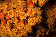 Orange Cup Coral (Tubastraea coccinea)<br /> BONAIRE, Netherlands Antilles, Caribbean<br /> HABITAT & DISTRIBUTION: Shaded areas in wide range of environments.<br /> Florida, Bahamas & Caribbean.