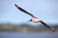 Franklin's Gull (Leucophaeus pipixcan) in Chile