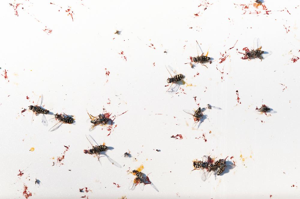 USA,Vereinigte Staaten von Amerika, kleine Wespen kleben nach Aufprall auf der  Karosserie eines PKWs    |  USA ,United States,United States of America,  little wasps stuck to a car|