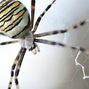 Wasp spider in web