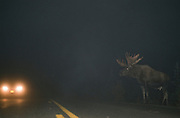 Alaska. Big Lake. Bull Moose (Alces alces) crossing road in light of oncoming headlights of traffic on a busy highway.  Hundreds of moose are killed  in traffic every year.