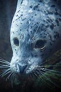 Knubbsäl (Harbor seal) på Alaska SeaLife Center i Seward, Alaska, USA
