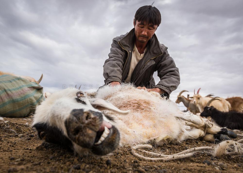 A nomad is sheering a goat in the Gobi Desert, Mongolia. Photo © Robert van Sluis - www.robertvansluis.com