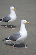 Two Herring Gulls strut across a sandy beach.