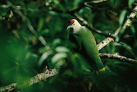 A palauan fruit dove (Ptilinopus pelewensis) perches on a tree branch in a tropical forest.