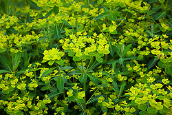 Euphorbia cornigera AGM Horned spurge