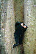 The Celebes Crested Macaque is drinking in a tree hole. | Schopfmakake beim Trinken an einem Brettwurzelbaum.