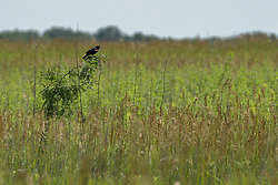 A redwinged blackbird sits on a prairie plant that is just a bit tall than the others<br /> Finfrock State Natural Habitat Area (Illinois)