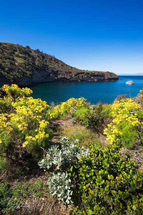 Giant Coreopsis at Pelican Bay, Santa Cruz Island, Channel Islands National Park, California USA