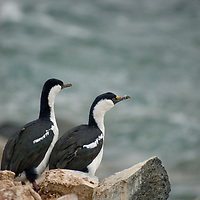 Blue-eyed shags (Antarctic Cormorants) stand on a rock by the shore of Petermann Island, Antarctica.