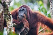 A portrait of an orangutan (Pongo pymaeus) resting his face on his arm, Tanjung Puting National Park, Central Kalimantan, Borneo, Indonesia