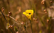A yellow mariposa lily wildflower in a summer meadow, Mendocino County, California