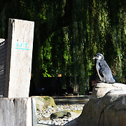 Penguins at ZLS London Zoo's Asiatic lions celebrate the advent of autumn with scented treat, London, UK. 18 October 2018. 18 October 2018.