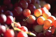 Close up selective focus photograph of Emperor Grapes in a shaft of light