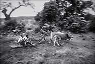 Boys collecting logs using cattle to pull them along- West Nile, Moyo District, Uganda.