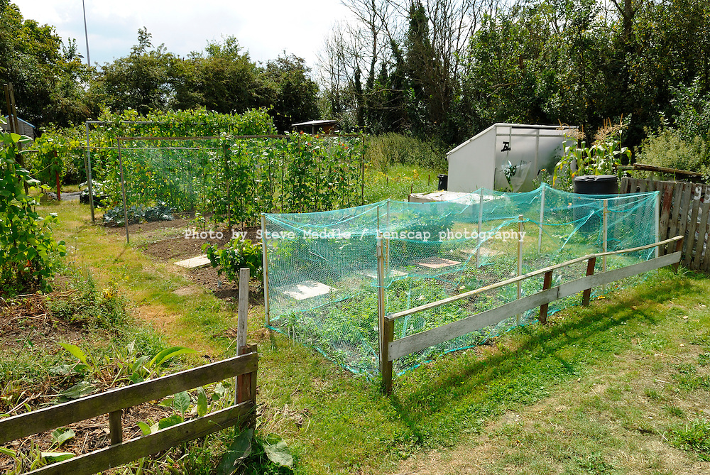 Vegatables Growing in an Allotment, Essex, Britain - August 2009