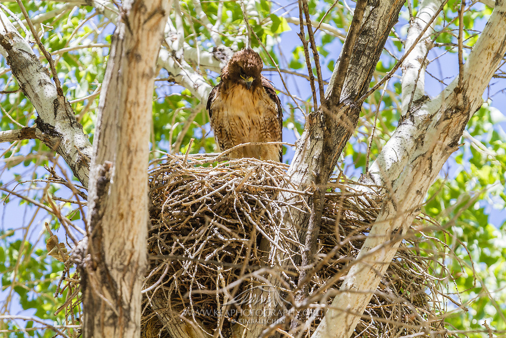 Red-tailed Hawk sitting at its nest, Morongo