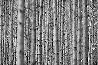 Zagan Pines 5