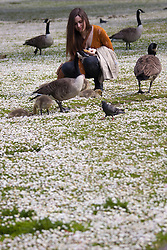 Regents Park, London, May 17th 2014. Marilee Tursack, a politics, economics and philosophy graduate visiting London from New York feeds geese and their goslings on a field of daisies  in Reget's Park as London basks in warm spring weather.