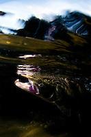 Atlantic Salmon, Salmo salar<br /> Flyfishing River Orkla, Rennebu, Norway.<br /> Photographed at catch/release fishing.
