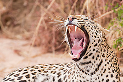 Leopard relaxing and yawning at Okonjima Nature Reserve, Namibia, Africa