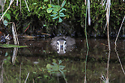 Woodduck duckling hiding in water.