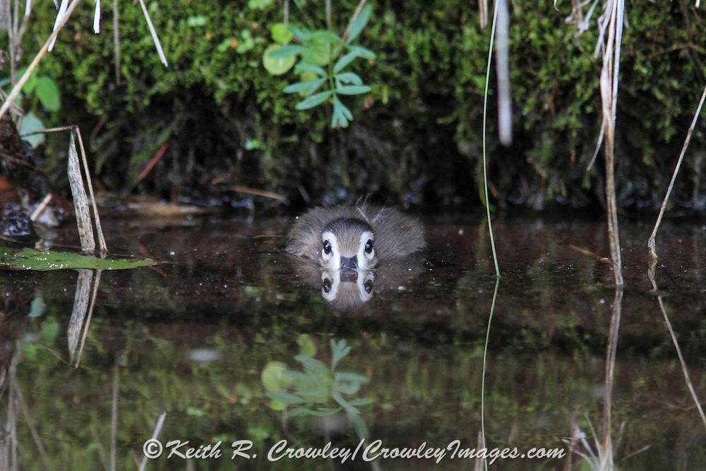 Woodduck duckling hiding in water.
